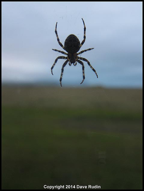 There are no snakes in Iceland, but apparently there are spiders