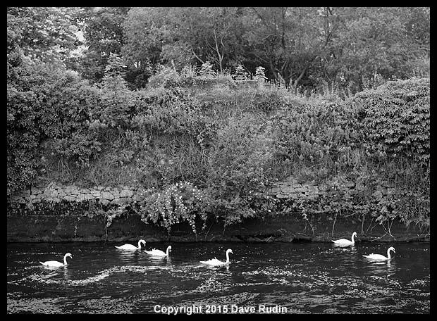 Swans, Galway, Ireland, 2015